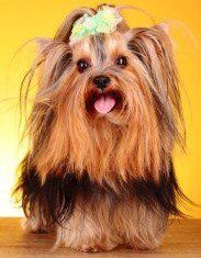Yorkshire Terrier stacked hair cut