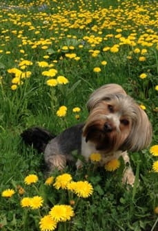 yorkshire-terrier-summertime