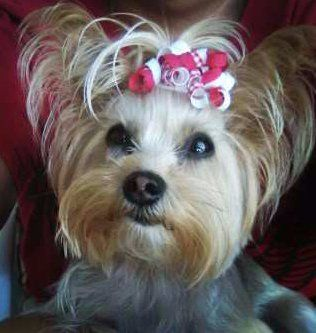Yorkie Top Knots The Yorkshire Terrier Information Center