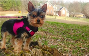 Choosing the Best Collar and Harness for a Yorkie