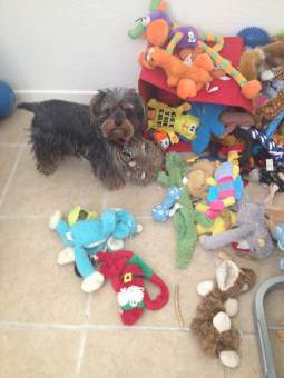 Yorkshire Terrier with tons of toys