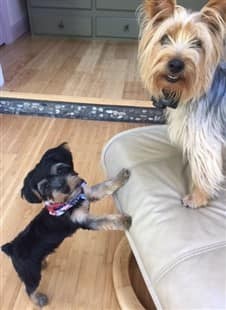 Young Yorkie puppy with older adult Yorkie
