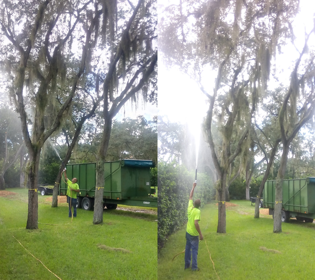 Organic Spanish Moss Removal Tree Services Palm Harbor Fl
