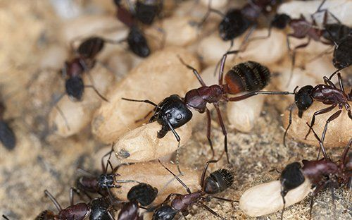 Ants pest control offered by Redwatch Solutions