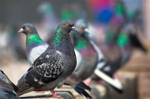 Pidgeons pest control offered by Redwatch Solutions