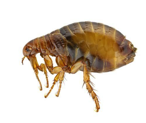 Fleas pest control offered by Redwatch Solutions