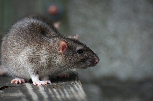 Rats pest control offered by Redwatch Solutions