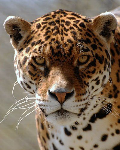 Jaguar - Guinness World Record for Longest Living Jaguar