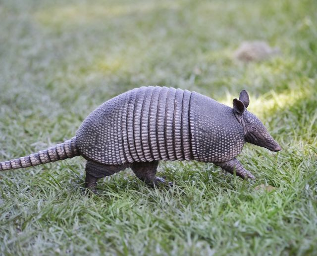 Our company also deals with wildlife pests such as armadillos