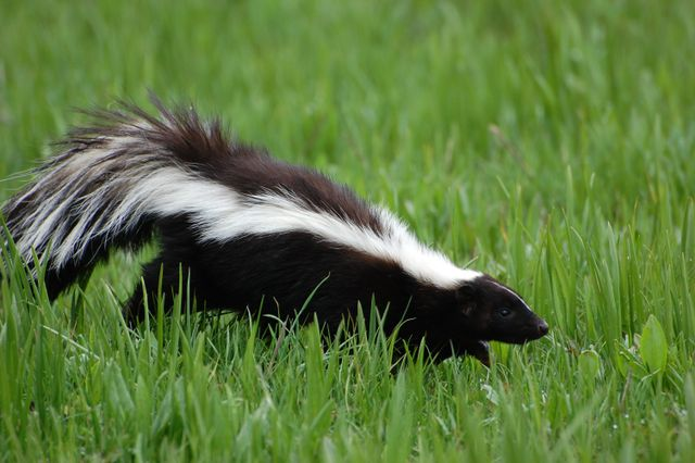 Skunks are a common problem we know how to deal with