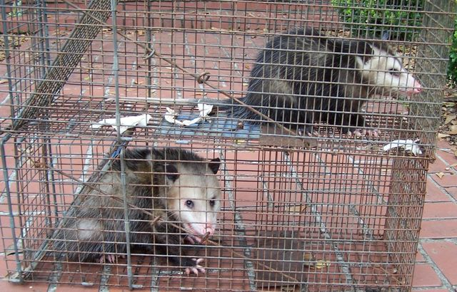 Wolverines can be troublesome critters for which we provide pest control services