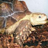 tartaruga testuggine gigante