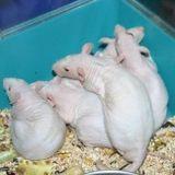 ratti in una gabbia blu