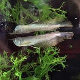 pesci argentei in un acquario