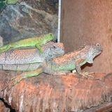 tre iguane