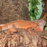 iguana in mezzo alle roccie