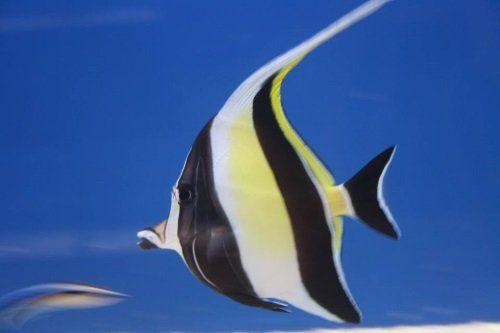 un  pesce giallo a righe nere