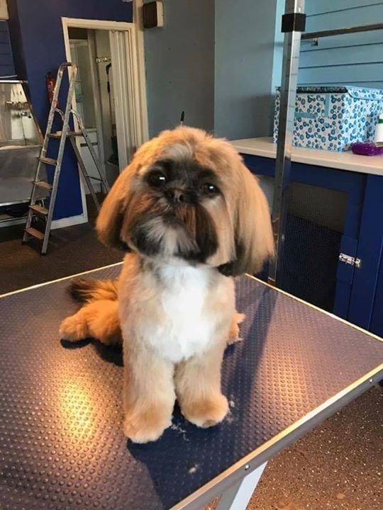 Willow shih-tzu selsey
