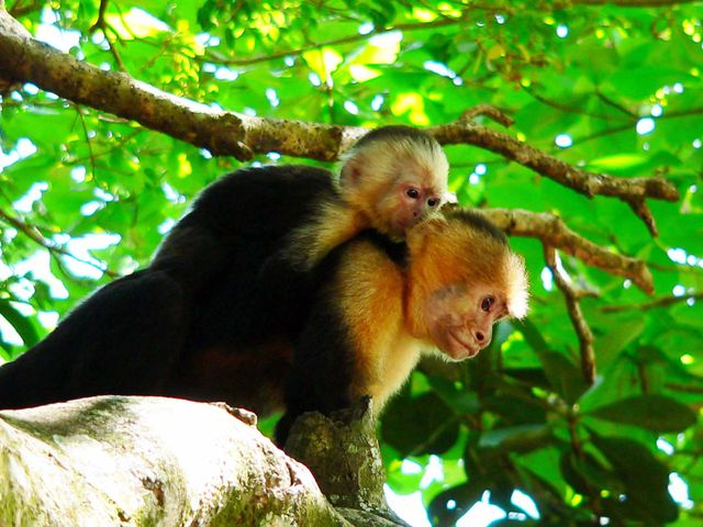 Osa Peninsula monkeys
