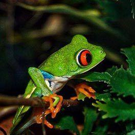 Tree frog pet