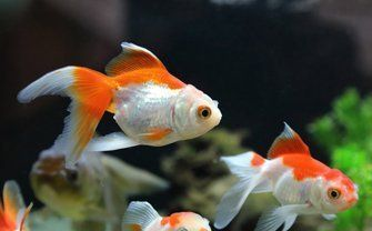 orange and white baby fishes