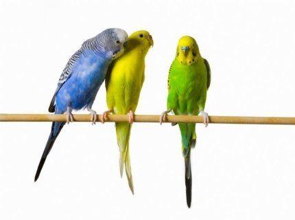 pappagalli stecca