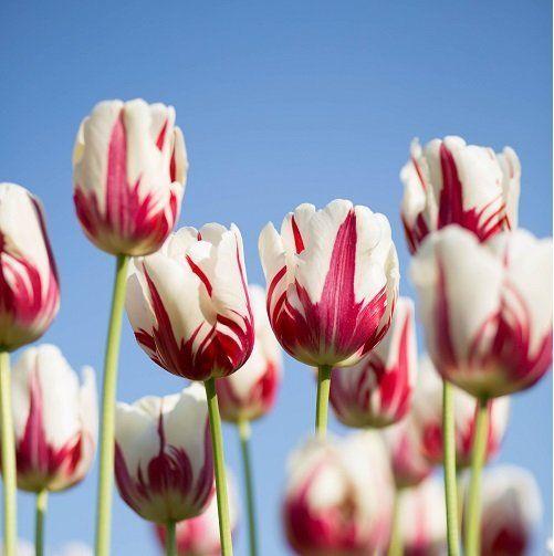 dei tulipani rossi e bianchi