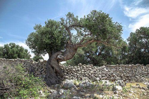 Olivo e un muro di pietra