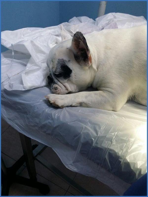 un cane bianco su un lettino del veterinario