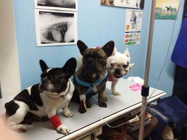 dei cani di razza Bulldog Francese seduti su un lettino da un veterinario