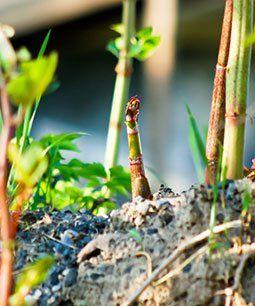 growing-weed