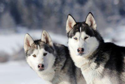 Una coppia di husky guardando alla camera