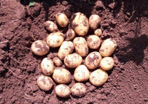 delle patate nella terra