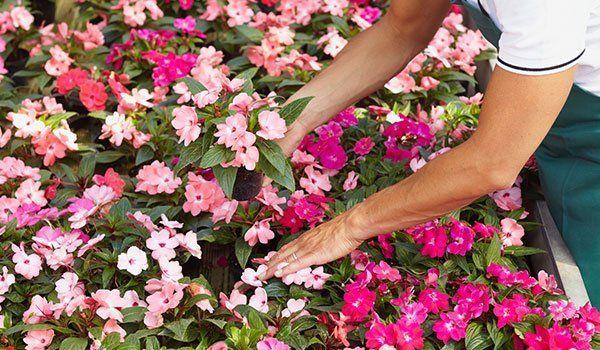 un fiorista sta sistemando dei vasi di fiori rosa-Primula fiori e Piante- Avellino