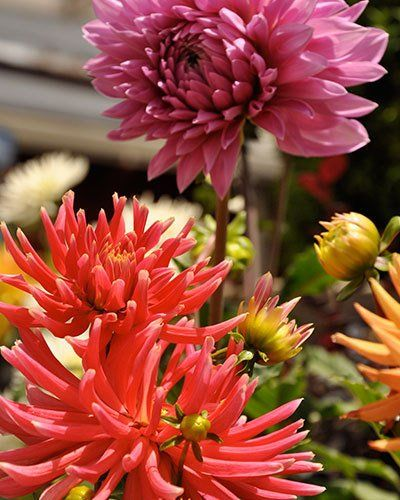 Perennial Plants San Rafael, CA