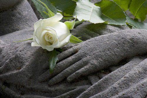 Rosa bianca su mani di pietra