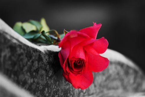 Solo una rosa rossa