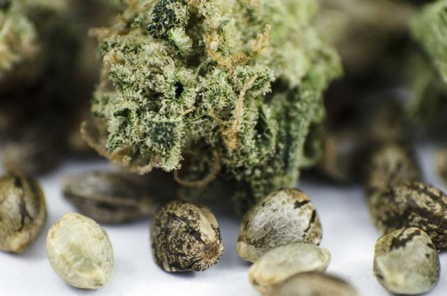 dei semi e della marijuana