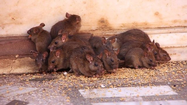 Mice rat rodent control experts