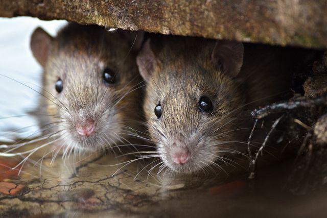 Pest Assassins | Rodent Control Experts