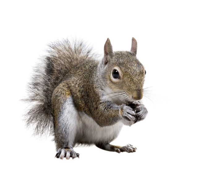 Squirrel removal Attleboro Mansfield Wrentham Massachusetts
