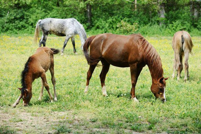 cavalli mentre mangiano l`erba