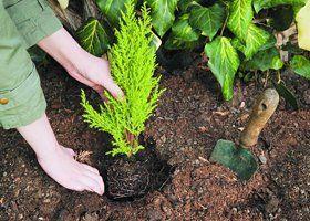 A person planting a fern