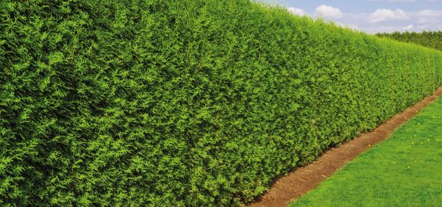A hedge that has been well maintained