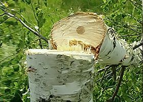 A birch tree cut in half