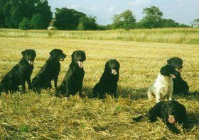 Gun dog training - Thetford, Norfolk - Buttershall Gun Dogs - Dogs in Field