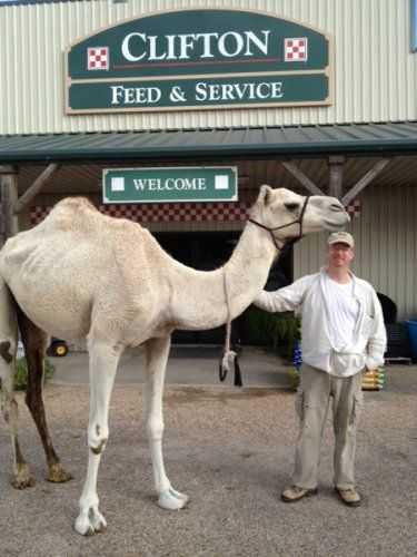 Customer with camel at Clifton, TX