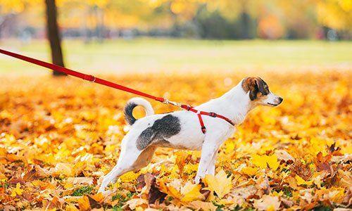 un cane di razza Jack Russel che tira mentre è al guinzaglio
