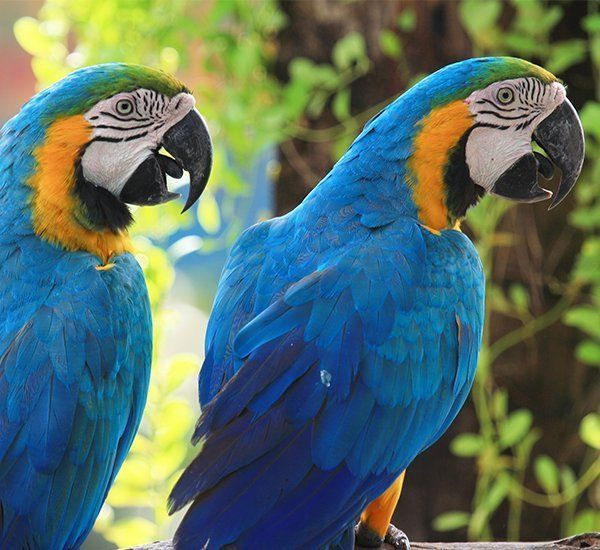 Two beautiful macaws