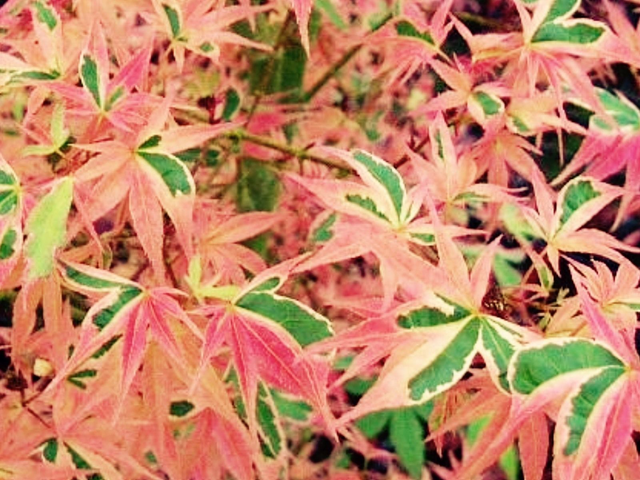 We Supply Japanese Maples To Customers In Evesham